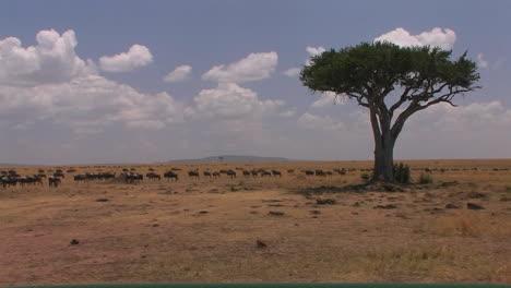 A-herd-of-wildebeest-roam-an-open-plain