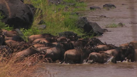 A-herd-of-wildebeests-all-walk-into-the-water