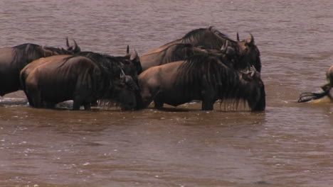 Some-wildebeest-stop-for-a-drink-while-crossing-a-río