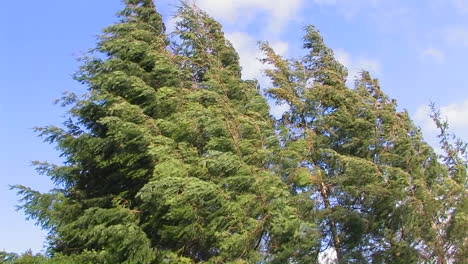 Tall-trees-sway-from-strong-winds