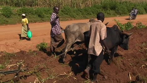 Oxen-are-being-used-to-help-pull-a-plow-through-a-field-as-people-walk-and-ride-motorbikes-down-a-road