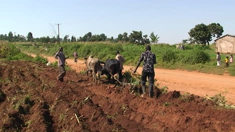 Three-men-and-an-ox-plough-crops-in-an-African-village