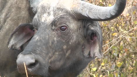 A-buffalo-blinking-its-eyes-and-looking-around