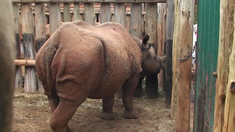 A-caged-rhino-looks-out-beyond-his-bars