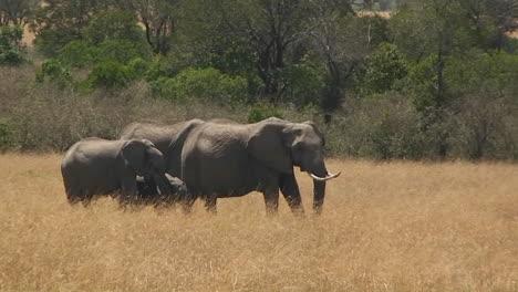 A-herd-of-elephants-walks-along-through-a-field-of-grass