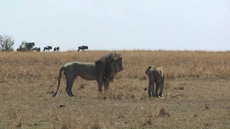 Lion-and-lioness-looking-around-a-grassy-field