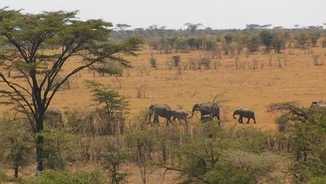A-herd-of-elephants-walk-in-line-across-a-hot-bushy-plain