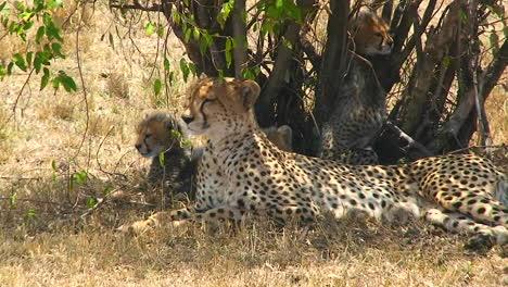 A-cheetah-and-cubs-enjoy-shade-under-a-bush