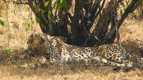 A-cheetah-licks-its-paw-under-a-tree-with-cubs