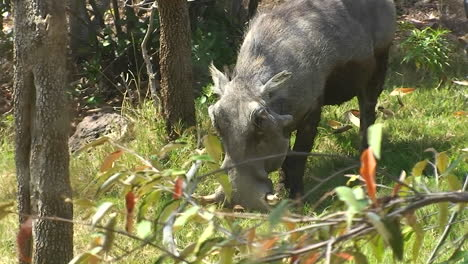 A-warthog-is-eating-grass-in-the-forest