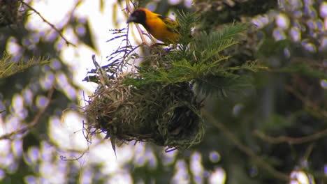 Un-Pájaro-Posado-En-Lo-Alto-De-Su-Nido-Hace-Algunos-Ajustes-Menores