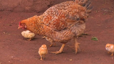 A-group-of-baby-chickens-follow-the-mother-hen-around-pecking-for-food