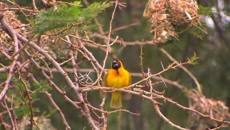 A-yellow-and-black-bird-perches-on-a-branch-flapping-his-wings-then-flies-away