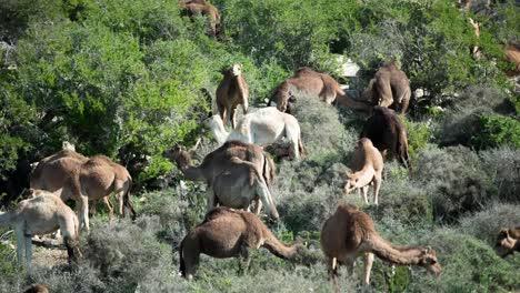 Morocco-Camel-03
