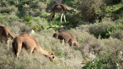 Morocco-Camel-07