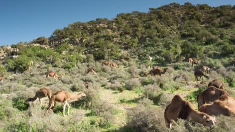 Morocco-Camel-12