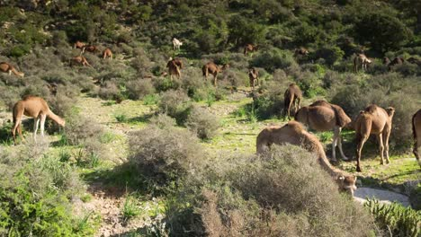 Morocco-Camel-13