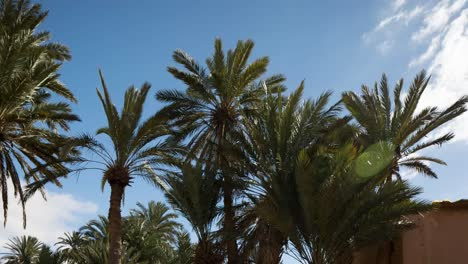 Oasis-Palm-Trees-00