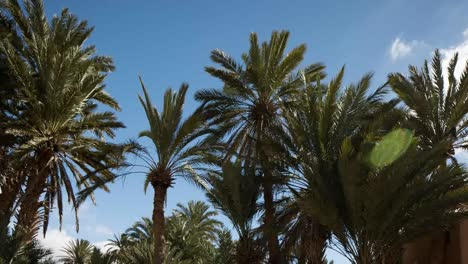 Oasis-Palm-Trees-03