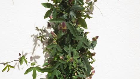 Passiflora-04