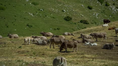 Pedraforca-Cows-00