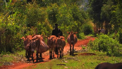 A-man-walks-on-a-rural-road-with-a-few-mules