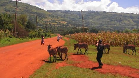A-man-walks-a-small-group-of-donkeys-down-a-rural-dirt-road