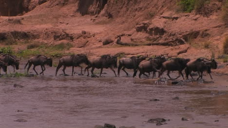 A-heard-of-wildebeest-cross-a-río-and-begin-to-run