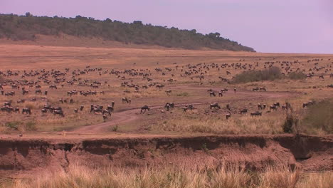 A-large-herd-of-wildebeest-fill-the-plain