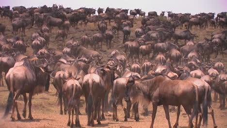 A-herd-of-wildebeest-gather-on-an-open-plain