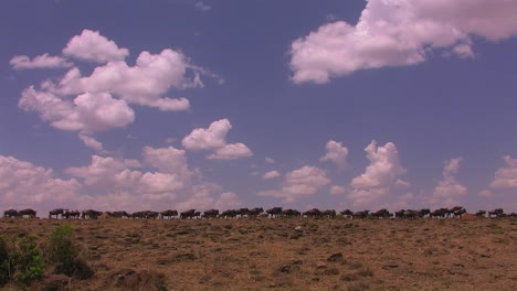 Wildebeest-are-gathered-on-an-open-plain