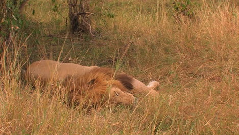 A-lion-lies-in-the-grass-moves-its-mouth-slightly-and-breathes-quickly-as-the-grass-is-blown-by-the-wind