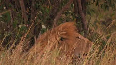 A-lion-rests-in-tall-grass-on-a-windy-day