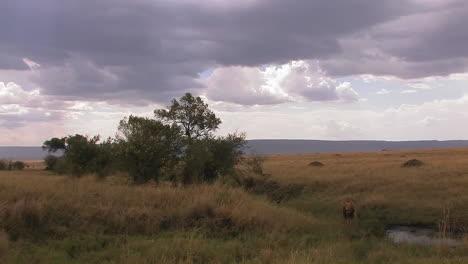 A-lion-sits-alert-in-tall-grass