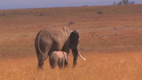 Two-elephants-eat-tall-grass-in-a-field