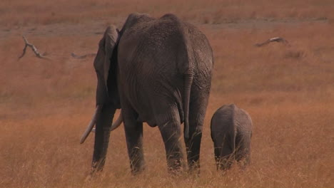 A-parent-and-baby-elephant-walk-in-a-field