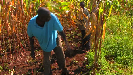 Men-work-in-a-cornfield-chopping-down-the-stalks