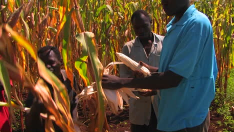 Workers-in-a-cornfield-pull-the-ears-of-corn-off-the-stalks-and-place-them-in-a-basket