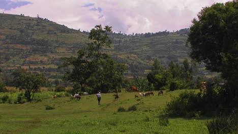 A-man-watches-over-a-herd-of-goats-grazing-in-a-field