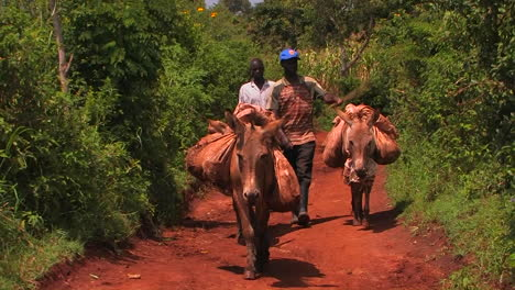 Two-men-walk-three-donkeys-carrying-backpacks-through-a-grove-of-trees-one-man-keeps-hitting-the-donkeys-with-a-stick