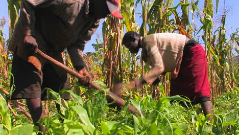 Dos-Personas-Cuidan-Cultivos-En-Un-Campo