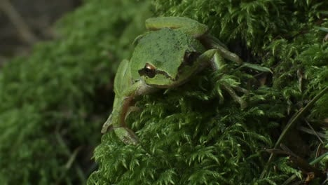 A-green-frog-looks-around-1
