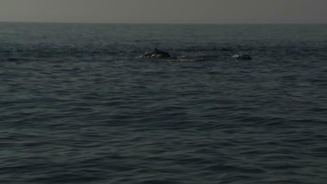 Una-Manada-De-Delfines-Juega-En-El-Agua-Junto-A-Un-Bote