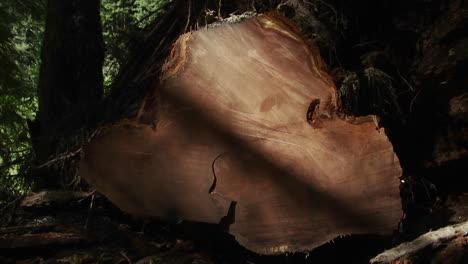 Un-árbol-Talado-Con-Muchos-Anillos-De-árboles-En-El-Bosque-