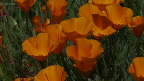 California-poppy-plants-grow-amongst-green-grass