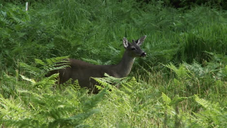 A-deer-in-tall-green-grass