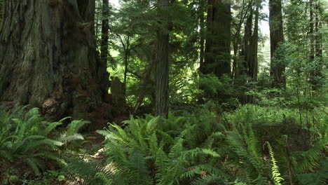 Light-filters-into-the-forest-floor-in-the-Redwood-forests-of-California