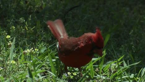 Un-Pájaro-Cardenal-Rojo-Salta-En-El-Suelo