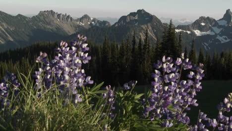 Lila-Lavendelblüten-Wachsen-Im-Pazifischen-Nordwesten
