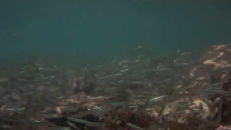 Underwater-footage-of-lots-of-small-silver-fish-swimming-around-a-coral-reef